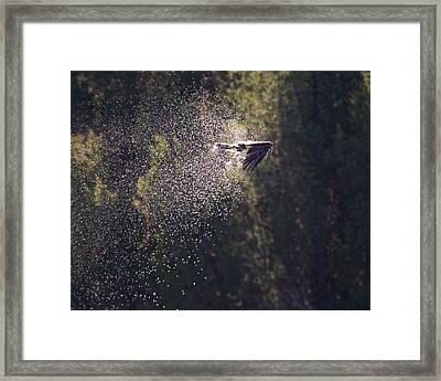 Osprey Shower Framed Print