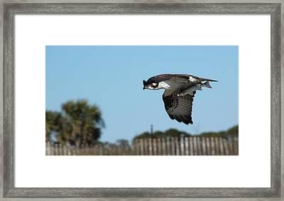 Osprey Speed Framed Print by Rosanne Jordan
