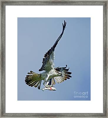 Osprey Success Framed Print