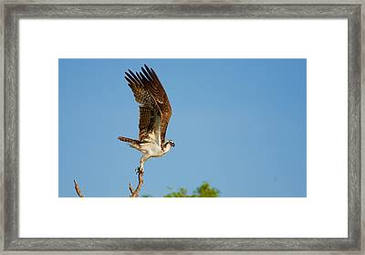 Osprey Take Off Framed Print