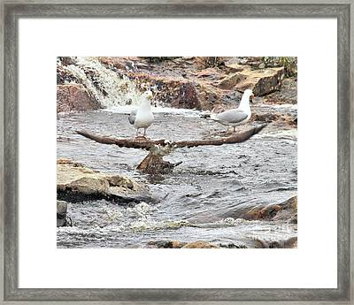 Framed Print featuring the photograph Osprey Takes Fish From Gulls by Debbie Stahre