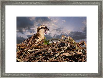 Osprey Talk Framed Print