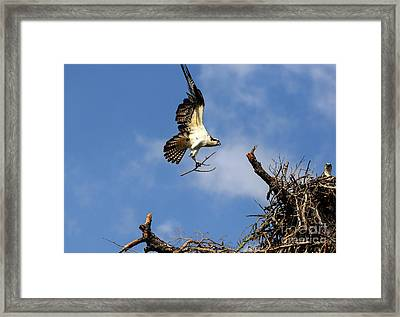 Osprey Teamwork Framed Print