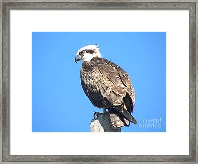 Framed Print featuring the photograph Osprey by Terri Mills