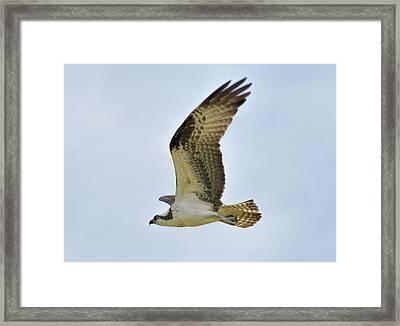 Osprey Upswing Framed Print
