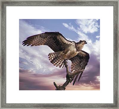 Osprey Wing Framed Print