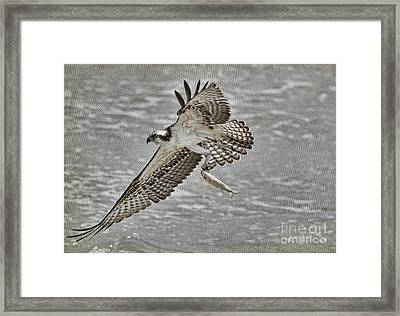 Osprey With Breakfast Framed Print by Deborah Benoit