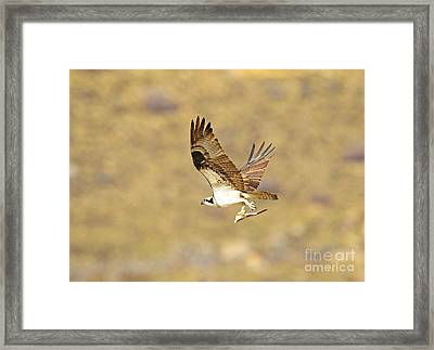 Osprey With Fish Framed Print by Dennis Hammer