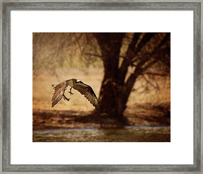 Osprey With Lunch Framed Print