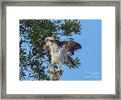 Osprey With Meal Framed Print