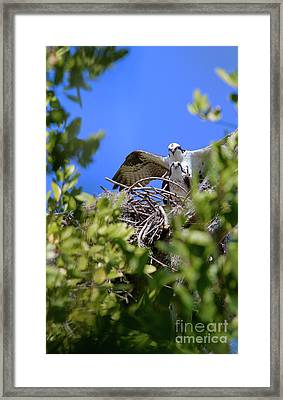 Ospreys Framed Print