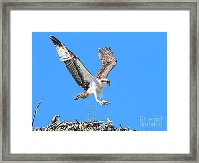Ospreys Learning To Fly Framed Print