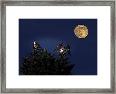 Ospreys With The Moon Framed Print