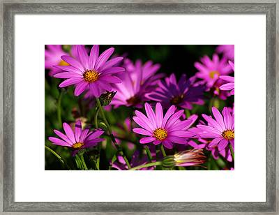 Osteospermum 2 Framed Print by Iain MacVinish