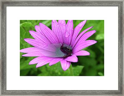 Osteospernum And Water Framed Print by Martina Fagan