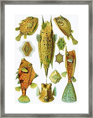 Ostraciontes Boxfish Framed Print by Ernst Haeckel