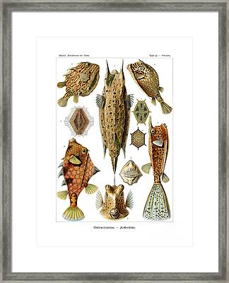 Ostraciontes Framed Print