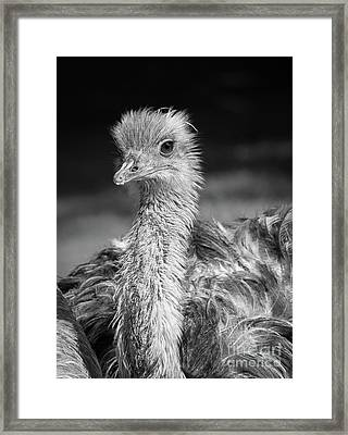 Ostrich Black And White Framed Print