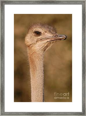 Ostrich Head Framed Print by Andy Smy