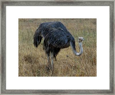 Ostrich In The Grass 1 Framed Print