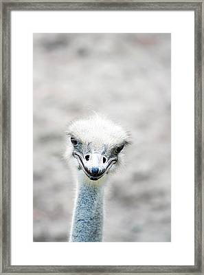 Ostrich Framed Print by Lauren Mancke