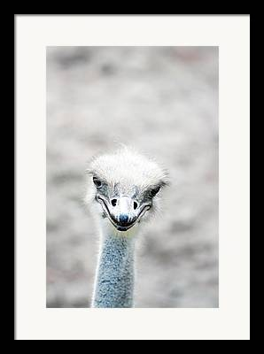 Ostrich Framed Prints
