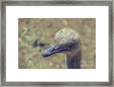 Ostrich Framed Print by Patricia Hofmeester