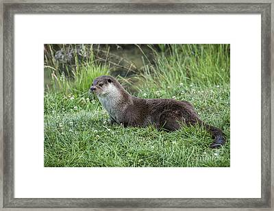 Otter By The Water Framed Print by Philip Pound