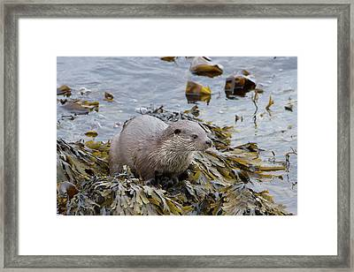 Otter On Seaweed Framed Print