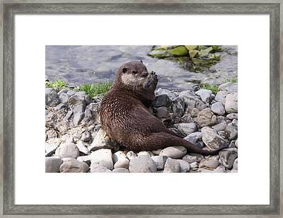 Otter Playing With Rocks Framed Print by Stephen Athea