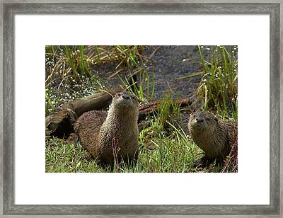 Otters Framed Print