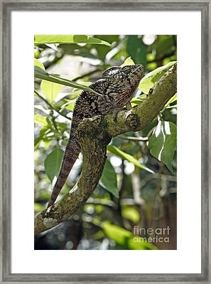 Oustalets Chameleon Framed Print