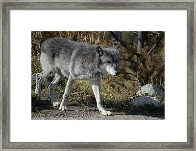 Out For A Walk Framed Print by Curtis Gibson