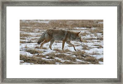 Out Looking For Dinner Framed Print by Robert Torkomian