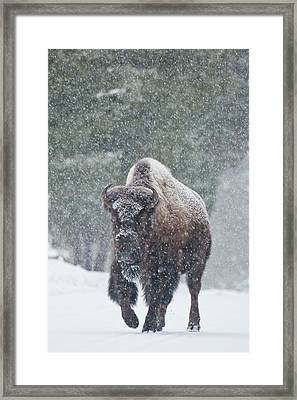Out Of The Snow Framed Print by D Robert Franz