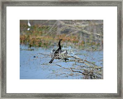 Out On A Limb - Anhinga Water Turkey Framed Print by rd Erickson