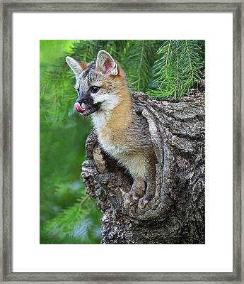Out Pops A Gray Fox Framed Print