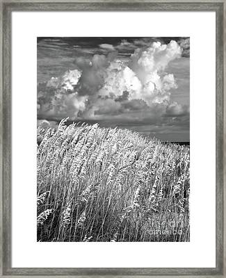 Outer Banks - Sea Oats Swaying In A Storm Bw Framed Print by Dan Carmichael