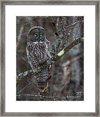 Over There- Great Gray Owl Framed Print by Lloyd Alexander