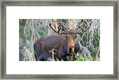 Framed Print featuring the photograph Overlooking Moose by Scott Mahon