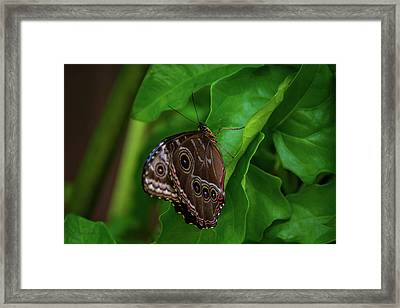 Owl Butterfly Framed Print by Pamela Williams