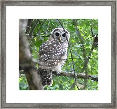 Owl On A Limb Framed Print by Donald C Morgan