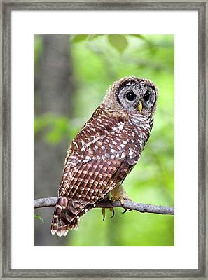 Owl On The Prowl Framed Print by Timothy McIntyre