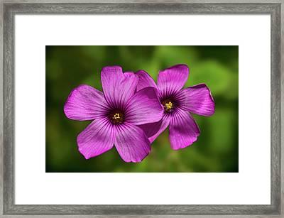 Oxalis Flowers Framed Print by Pete Hemington
