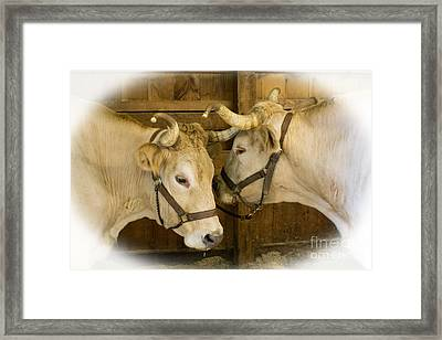 Oxen Team Framed Print