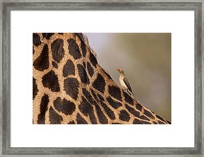 Oxpecker On Giraffe Back Framed Print by Johan Elzenga