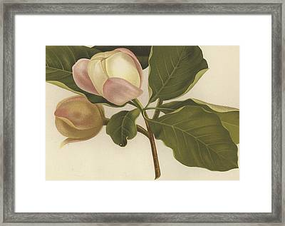 Oyama Magnolia Framed Print by English School