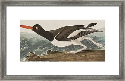 Oyster Catcher Framed Print by John James Audubon