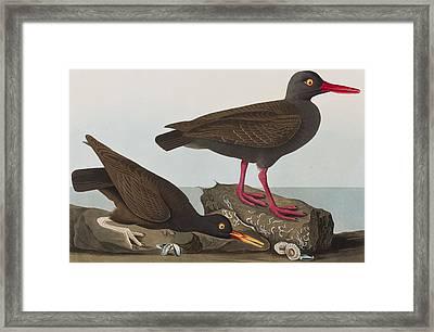 Oyster Catchers Framed Print