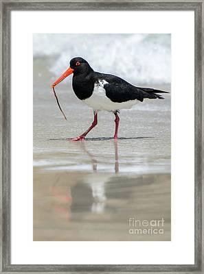 Oystercatcher 03 Framed Print